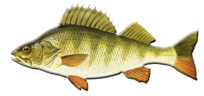 Fischkunde asv ostalb for Fisch barsch