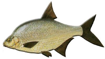 fisch dicke augen